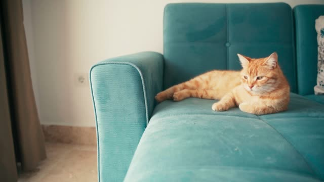 beautiful red cat, lying and relaxing on a blue sofa on a sunny day. - pelo animale video stock e b–roll