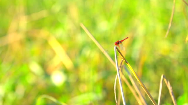 Beautiful red dragonfly slow motion flying catch on grass on morning nature Beautiful red dragonfly slow motion flying catch on grass on morning nature arthropod stock videos & royalty-free footage