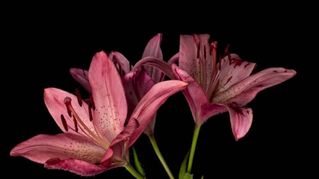 beautiful red lilies flower bud blooming timelapse, extreme close up. time lapse of fresh lilly opening closeup. isolated on black background. - lilia filmów i materiałów b-roll