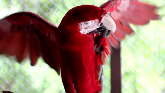 Beautiful red macaw video
