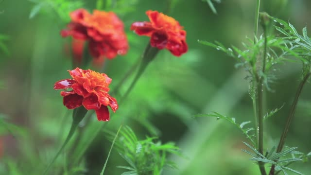 Beautiful red orange flowers with water drops in the garden. Marigolds in the shower rain, close up, dynamic scene, toned video, 50fps video