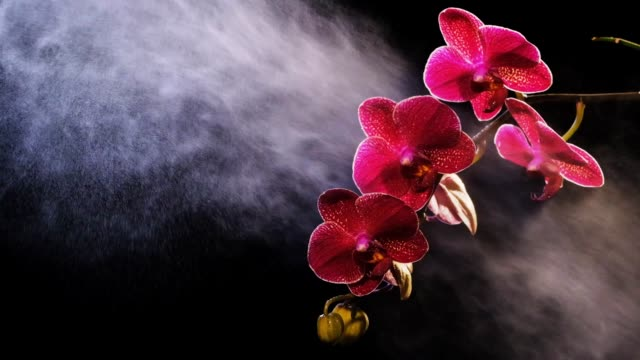 Beautiful red orchid on black