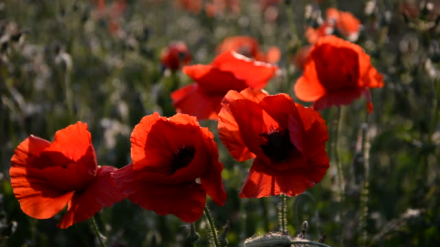 Beautiful Red poppies in field at wind video