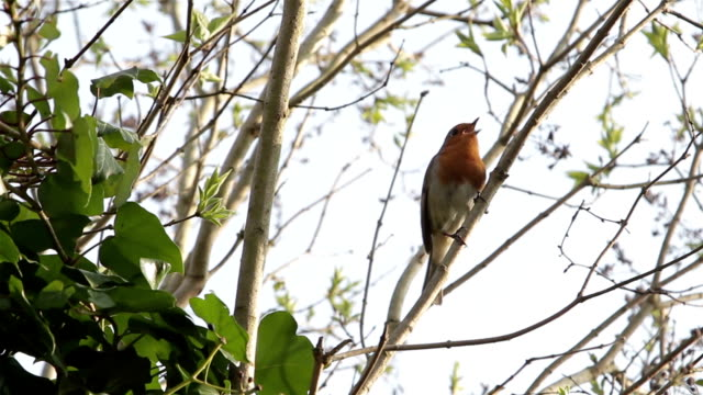 Beautiful Red Robin Songbird Singing before flying from Branch video