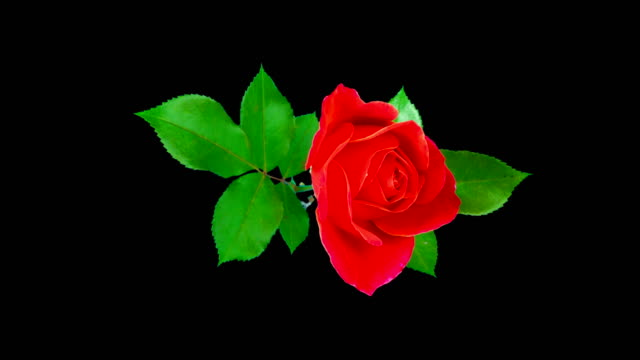 A beautiful red rose blooms and fades. Time lapse. Isolated on a black background.