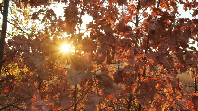 Beautiful red sunset through the bright autumn foliage of an oak tree