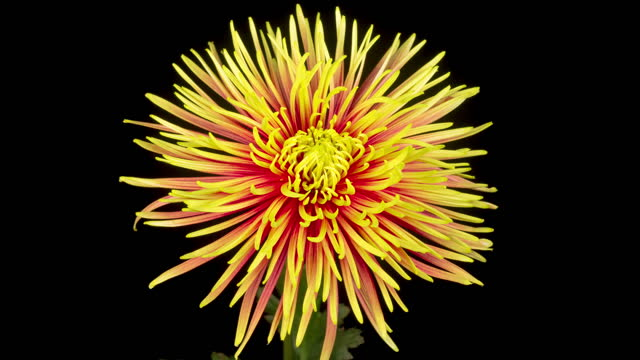 Beautiful Red - Yellow Chrysanthemum Flower Opening video