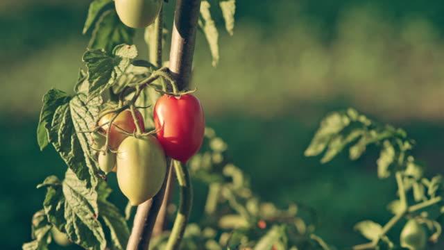 Beautiful ripe and green tomatoes. Back yard garden video