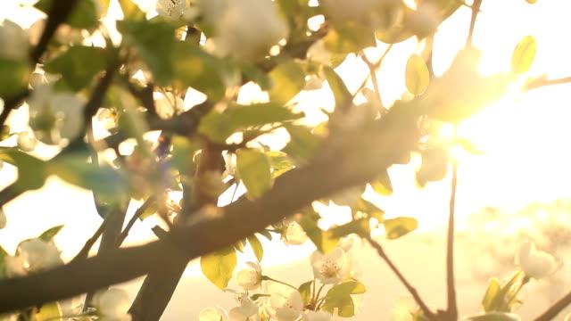 beautiful romantic sunset illuminates a tree in bloom. - äppelblom bildbanksvideor och videomaterial från bakom kulisserna