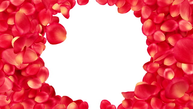 beautiful rose-petals transition. useful for greetings and gifts. - white roses bildbanksvideor och videomaterial från bakom kulisserna