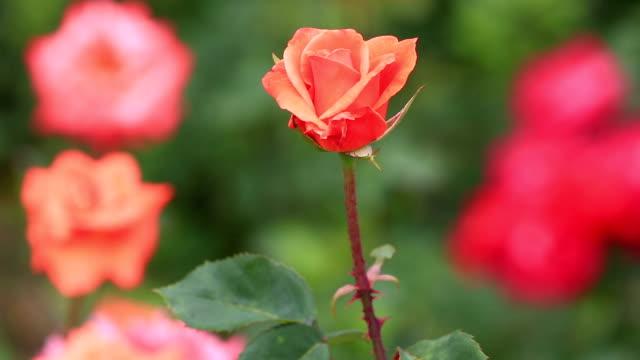 belle rose in un giardino - stame video stock e b–roll