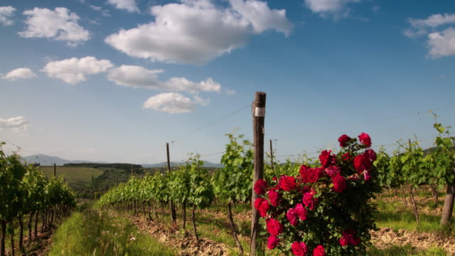 Beautiful rows of green vineyards with blue cloudy sky and red roses in the foreground. Chianti region near Florence, Italy.