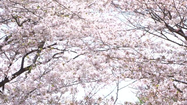 Beautiful Sakura, cherry blossoms, spring in tokyo Japan Beautiful Sakura, cherry blossoms, spring in tokyo Japan cherry tree stock videos & royalty-free footage