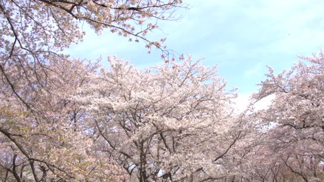 vídeos de stock, filmes e b-roll de linda sakura, flores de cerejeira, primavera em tóquio no japão - cerejeira árvore frutífera