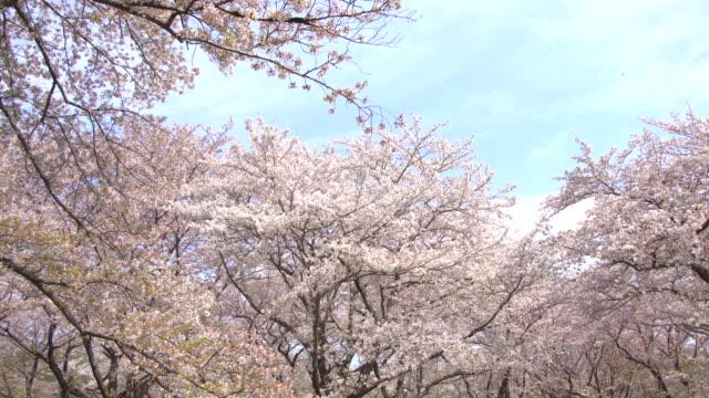 vídeos de stock, filmes e b-roll de linda sakura, flores de cerejeira, primavera - cerejeira árvore frutífera