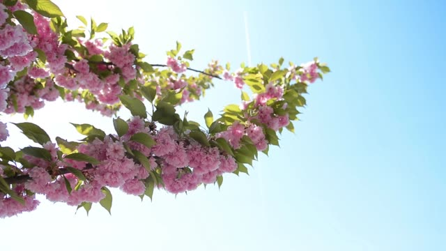 Beautiful sakura flower cherry blossom in spring on blue sky background