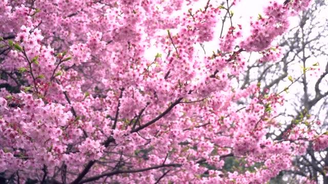 春で美しい桜の花 (桜)。 ビデオ