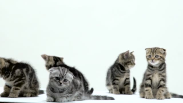 Beautiful scottish fold and straight kittens in a white studio. White background. Slow motion Beautiful kittens in a white studio are sitting and looking around. White background. Slow motion large group of objects stock videos & royalty-free footage