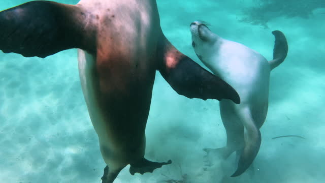 Beautiful seals playing with each other in turquoise waters and a sandy bottom.