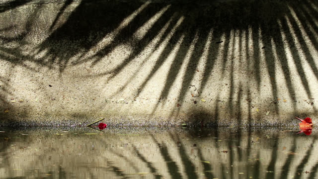 Beautiful shadow of Chinese fan palm tree leaves on canal wall and water Beautifully moving abstract shadow of Chinese fan palm tree leaves on canal concrete wall and water. Fallen flame tree orange-red flowers on the wall. jul stock videos & royalty-free footage