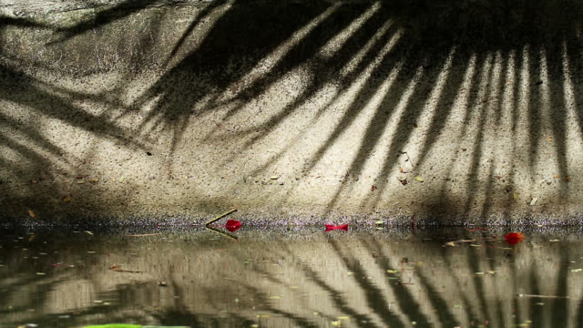 Beautiful shadow of Chinese fan palm tree leaves on canal wall and water Beautifully moving abstract shadow of Chinese fan palm tree leaves on canal concrete wall and water. Fallen flame tree orange-red flowers on the wall and water. jul stock videos & royalty-free footage