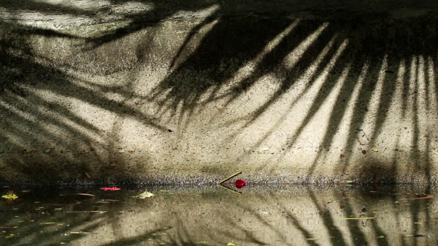 Beautiful shadow of Chinese fan palm tree leaves on canal wall and water Beautifully moving abstract shadow of Chinese fan palm tree leaves on old canal concrete wall and water. Fallen orange-red flame tree and yellow copperpod flowers on the wall and water. jul stock videos & royalty-free footage