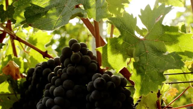 Beautiful shot of Grape in Vineyard at Sunny Day. video