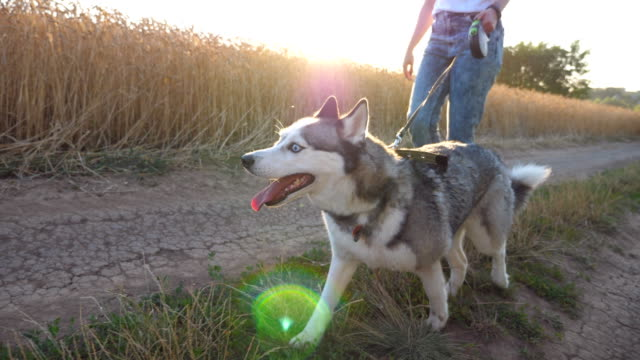 Beautiful siberian husky pulling the leash while walking along road near wheat field at sunset. Feet of young girl going along the path near meadow with her cute dog. Low angle view Close up Beautiful siberian husky pulling the leash while walking along road near wheat field at sunset. Feet of young girl going along the path near meadow with her cute dog. Low angle view Close up leash stock videos & royalty-free footage