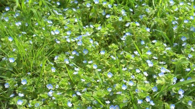 Beautiful small blue flowers and green grass, garden. video