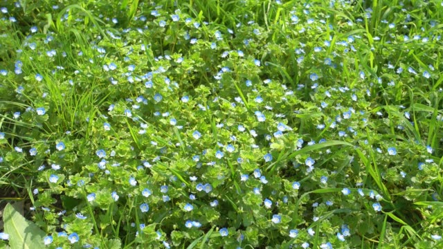 Beautiful small blue flowers and green grass, lawn. video