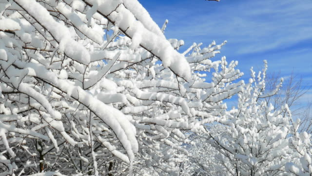 Beautiful Snow Covered Branches in Sunlight video