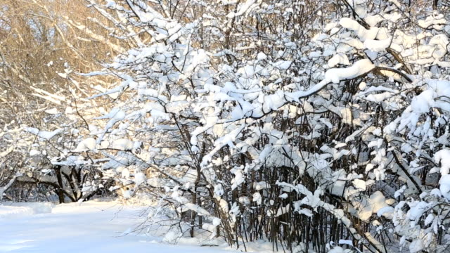 Beautiful snow covered trees in winter park. Horizontal panorama video