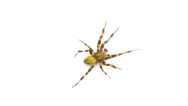 Beautiful spider crawling on the screen isolated on white background