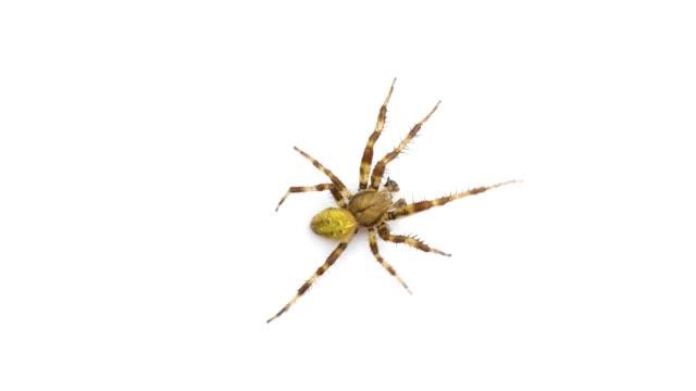 vackra spindel kryper på skärmen isolerad på vit bakgrund - spindel arachnid bildbanksvideor och videomaterial från bakom kulisserna