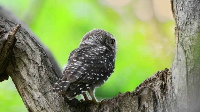 beautiful spotted owlet  in peaceful forest,front view. - arto di animale arto video stock e b–roll