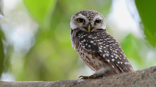 Beautiful spotted owl,full HD video.