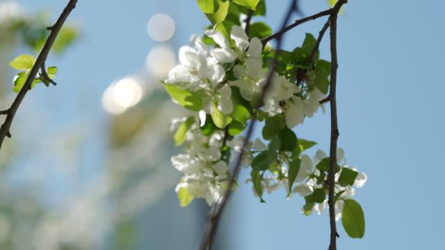 schöne frühlingsapfelbaum blumen blühen gegen verschwommene kirche goldene kuppel - religiöses symbol stock-videos und b-roll-filmmaterial