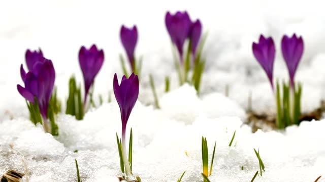 Beautiful spring crocuses video