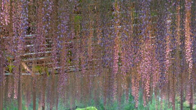 beautiful spring flowers series, wisteria trellis in garden video