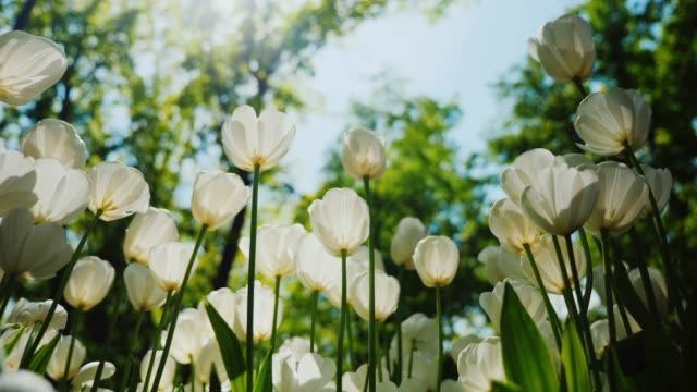 美しい春の花 - 白いチューリップ。太陽光の白い花びら - 花壇点の映像素材/bロール