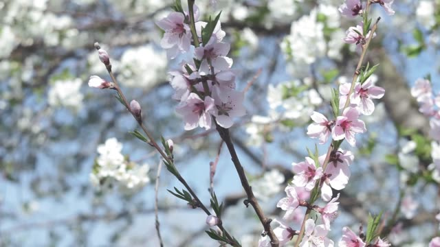 vacker vår solig blommig backround. närbild av vackra blommor av aprikosträd isolerat på blå himmel. full tid i realtid - fruktträdgård bildbanksvideor och videomaterial från bakom kulisserna