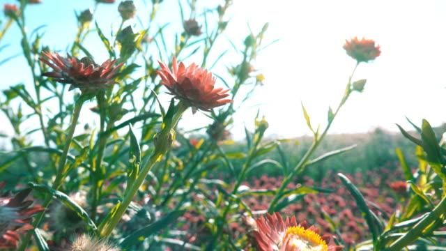 4K: beautiful straw flower (everlasting) in garden