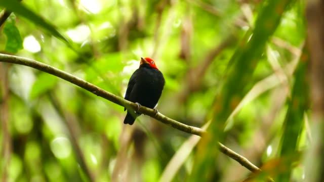 Beautiful striking red capped manakin bird standing in wild jungle