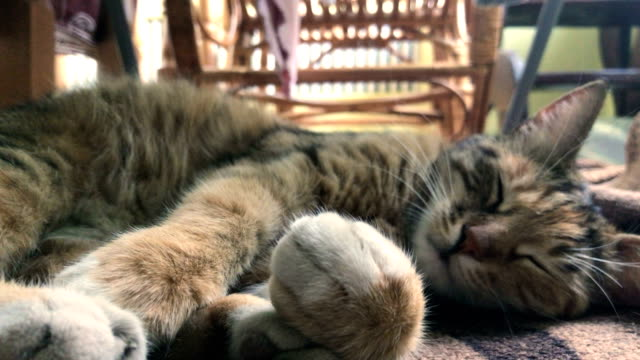 beautiful striped cat lies on the street video