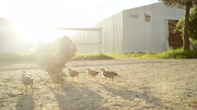 SLOW MOTION: Beautiful stunning mother chicken protecting her bird family video