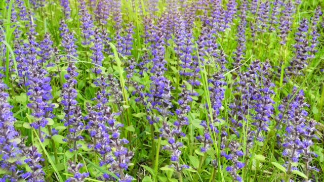 Beautiful summer field with blue and purple flowers and grass. video
