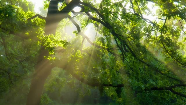 Beautiful summer morning in the forest. Sun rays break through the foliage of magnificent green tree. Magical summer forest Beautiful summer morning in the forest. Sun rays break through the foliage of magnificent green tree. Magical summer forest forest stock videos & royalty-free footage