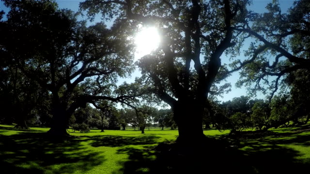 Beautiful summer sun shining through big majestic live oaks canopies SLOW MOTION CLOSE UP: Beautiful summer sun shining through big majestic live oak canopies in gorgeous nature garden park plantation stock videos & royalty-free footage