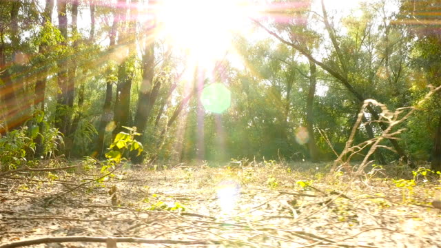 Beautiful sunbeams through the trees. Poplar fluff. Slow-motion. Camera moves left video