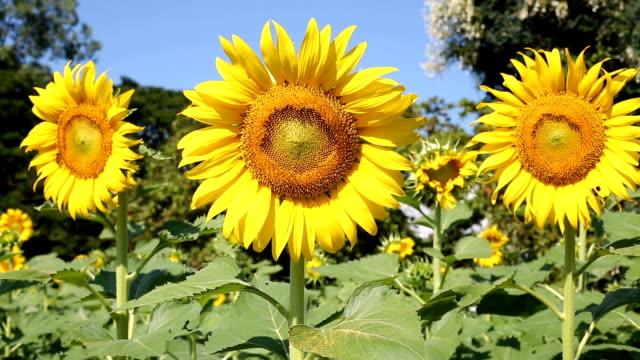 ヒマワリの美しい花が咲き乱れる庭園 - ヒマワリ点の映像素材/bロール